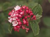 Aurora Variety of Korean Spice (Viburnum Carlessii)