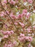 Japanese Flowering Cherry Flowers (Prunus Serrulata)  Kanzan Variety