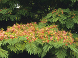 Silk Tree (Albizia Julibrissin) in Flower