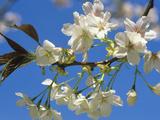Cherry Flowers (Prunus)  Ariake Variety