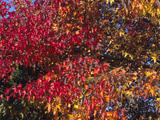 Autumn Foliage of the Sweetgum or Redgum (Liquidambar Styraciflua)