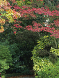 The Autumn Color of a Japanese Maple (Acer Palmatum)