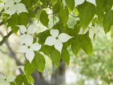Oriental Dogwood Tree Flowers (Cornus Kousa)