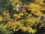 Autumn Foliage of Katsura Tree (Cercidiphyllum Japonicum)