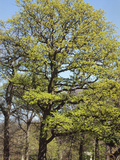 English Oak (Quercus Robur) with Bright Green New Spring Foliage
