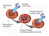 Illustration of Red Blood Cells (Rbcs) Transporting Oxygen Molecules Bonded with Hemoglobin