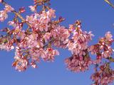 Hybrid Cherry Flowers (Prunus)  Okame Variety  a Cross Between P Campanulata X P Incisa