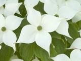 Oriental Dogwood Tree Flowers (Cornus Kousa)