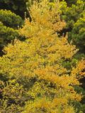 The Autumn Foliage of the Black Tupelo or Black Gum (Nyssa Sylvatica)