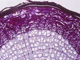 Cross-Section of a Basswood (Tilia) Root  LM X15