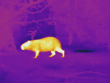 Thermogram Showing Temperature of the Capybara the Tempera