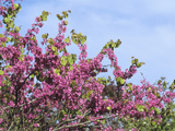 Judas Tree (Cercis Siliquastrum) Flowers
