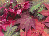 Fall Leaves and Samaras or Seeds of a Japanese Maple (Acer Palmatum)
