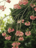 Himalayan Hill Cherry Flowers (Prunus Cerasoides Rubea)