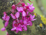 Judas Tree (Cercis Siliquastrum) Cauliflorous Flowers