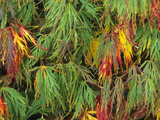 The Autumn Colors of a Filigree-Leafed Japanese Maple (Acer Palmatum)  Dissectum Group Cultivar