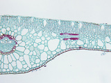 Cross-Section of a Pondweed (Potamogeton) Hydrophytic Monocot Leaf  LM X30