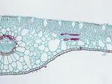 Cross-Section of a Pondweed (Potamogeton) Hydrophytic Monocot Leaf  LM X30