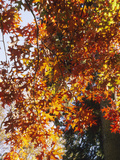 Autumn Foliage of the Pin Oak (Quercus Palustris)