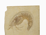 Fossil Shrimp Penaeus Speciosus) Jurrasic  Nesozoic Crustacean  Solnhofen  Bavaria