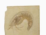 Fossil Shrimp Penaeus Speciosus) Jurrasic  Nesozoic Crustacean  Solnhofen  Bavaria