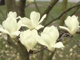 Yulan Magnolia Flowers (Magnolia Denudata)