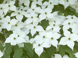Oriental Dogwood Tree in Bloom (Cornus Kousa)