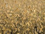 Soybeans  Iowa