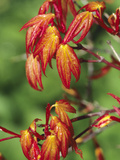 Young Spring Leaves of the Japanese Maple (Acer Palmatum)