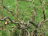 Twisted Stems of Hazel or Filbert (Corylus Avellana)  Contorta Variety Often Called Walking Stick