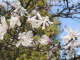 Star Magnolia (Magnolia Stellata)  Rosea Variety