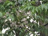 Chinaberry (Melia Azedarach)  an Invasive Species