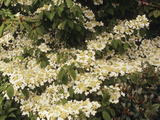 Doublefile Viburnum or Japanese Snowball Bush (Viburnum Plicatum)  Mariesii Variety