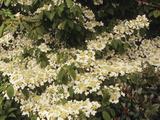 Doublefile Viburnum or Japanese Snowball Bush (Viburnum Plicatum)  Mariesii Variety