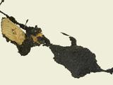 Spongy Sooty Mold on Beech (Scorias Spongiosa)