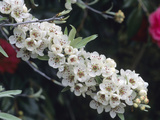 Flowers of the Weeping Silverleaf Pear (Pyrus Salicifolia)  Pendula Variety