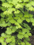 Shirasawa's or Fullmoon Maple Leaves (Acer Shirasawanum)  Aureum Variety Cultivar