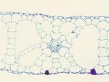 Cross-Section of an Eelgrass (Vallisneria) Hydrophytic Monocot Leaf  LM X35