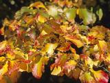 The Autumn Foliage of Persian Ironwood (Parrotia Persica)