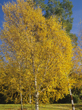 Silver Birch in the Fall (Betula Pendula)
