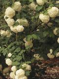 European Cranberry (Viburnum Opulus) Roseum Variety