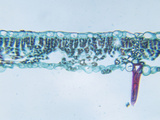 Cross-Section of a Butternut (Juglans) Shade Leaf  LM X60