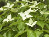 Oriental Dogwood Flowers (Cornus Kousa)
