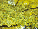 Leaves of the Ginkgo or Maidenhair Tree (Ginkgo Biloba) Turning Color in the Fall