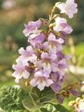 Princess or Empress Tree Flowers (Paulownia Tomentosa)
