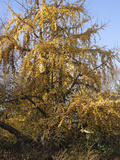 Female Ginkgo or Maidenhair Tree (Ginkgo Biloba) with Fruit and Fall Leaves