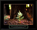 Determination: Little Pine