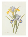 Iris (Colour Engraving)