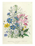 Cornflower  Plate 15 from 'The Ladies' Flower Garden'  Published 1842 (Colour Litho)