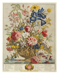 June  from 'Twelve Months of Flowers' by Robert Furber (C1674-1756) Engraved by Henry Fletcher